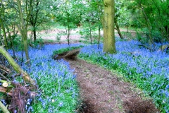Bill Banks Bluebells